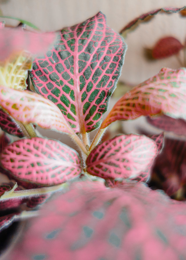 close up of fittonia leaf