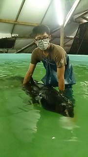 照片中的短肢領航鯨名為小梧子,死後解剖發現甫斷奶的牠,胃裡滿滿都是塑膠袋,李昕育提供。