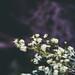 Lake Curalo Boardwalk Flowers