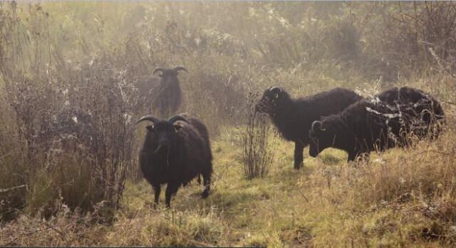 Hatfield森林的羊,幫忙抑制灌木叢生長。(圖片提供:National Trust)