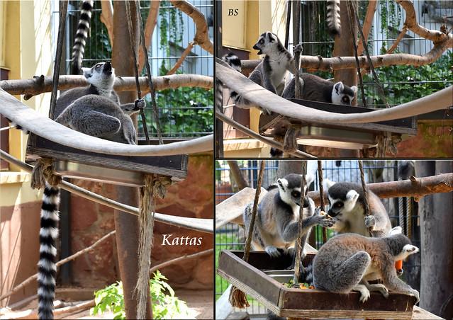 Kattas im Wormer Tiergarten ... Fotos: Brigitte Stolle