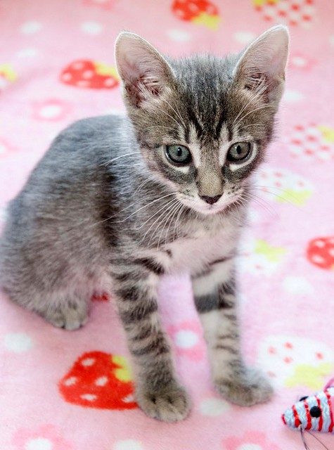 Benny, gatito Azul Ruso Tabby muy guapo y bueno, nacido en Julio´17, en adopción. Valencia. ADOPTADO. 36152657623_18cdabe469_z
