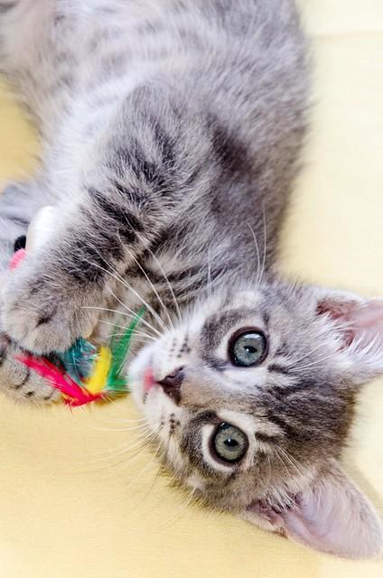 Benny, gatito Azul Ruso Tabby muy guapo y bueno, nacido en Julio´17, en adopción. Valencia. ADOPTADO. 36821697271_b7652fd6ae_z