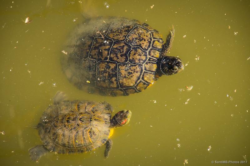 Tortugas invasoras en el Canal de la Bunyola