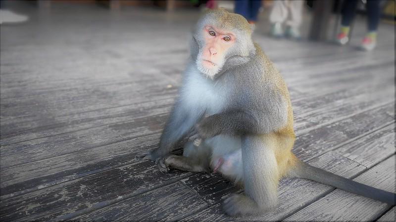 台灣獼猴。彭瑞祥攝,資料照片。