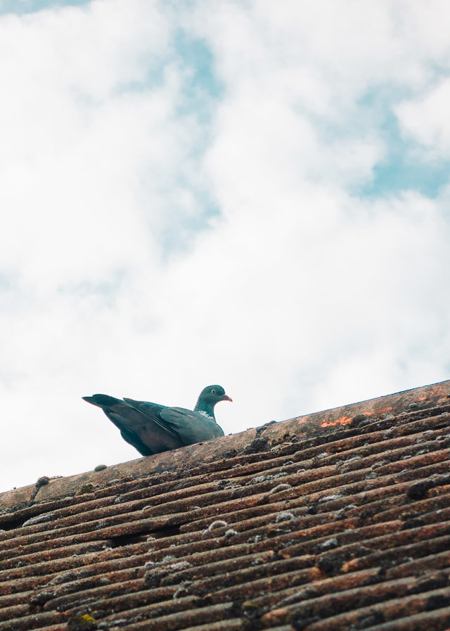 pigeon sitting on roof