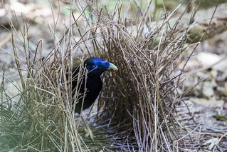 Satin Bower Bird (2) | by bidkev1 and son (see profile)