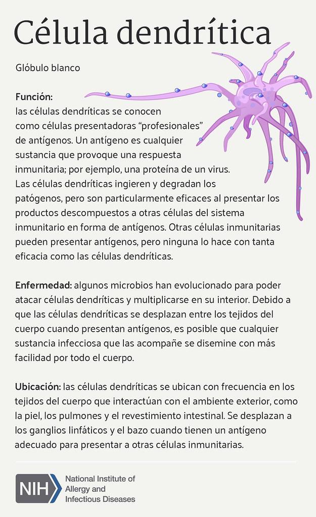 Célula Dendrítica (Dendritic Cell) | Función de las células … | Flickr