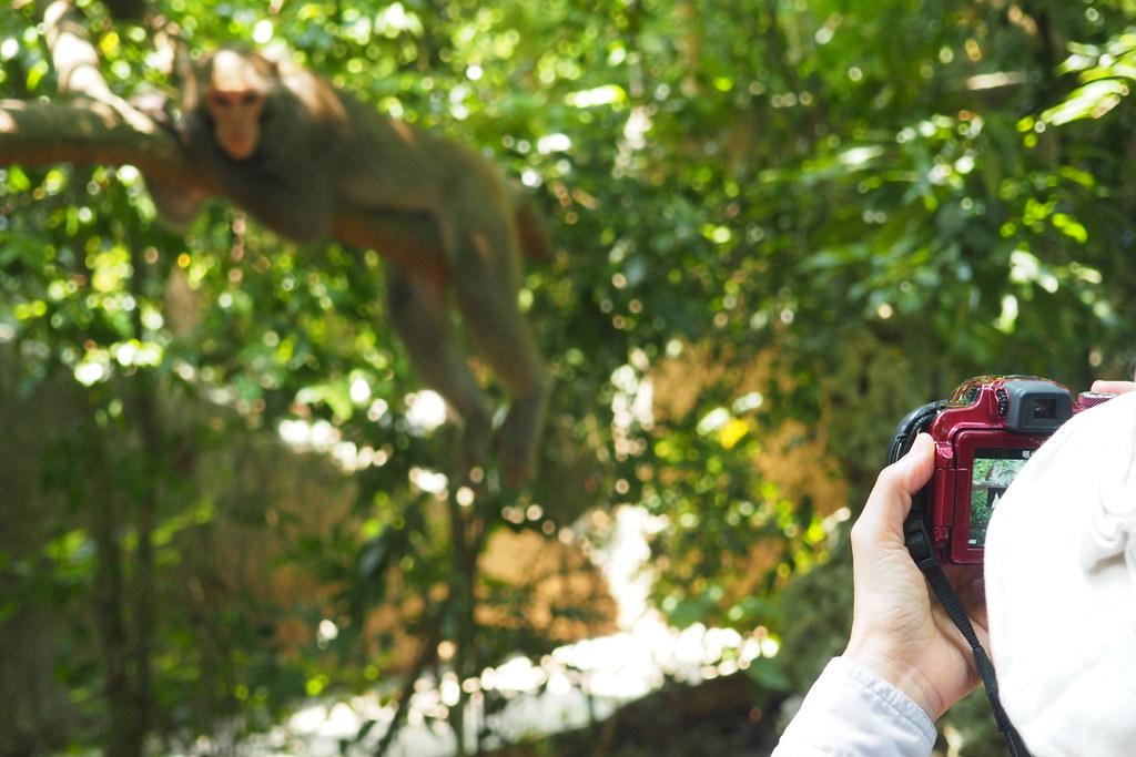 遊客可在極近的距離觀察壽山獼猴。攝影:李育琴。
