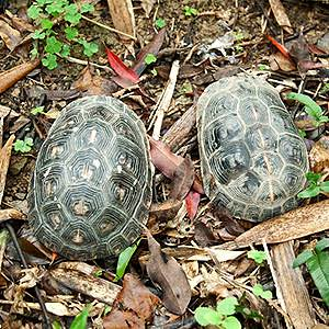 野生龜的型態變異大,不易由外型判定其來源