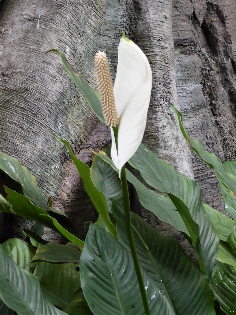 Chicago Lincoln Park Zoo White Anthurium Flower Mary Warren Flickr