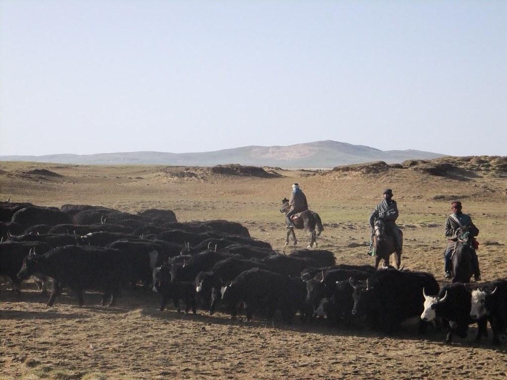 研究證明,在若爾蓋地區,合理放牧的方式有利於沙化草地更快恢復。圖片來源:扎瓊巴讓