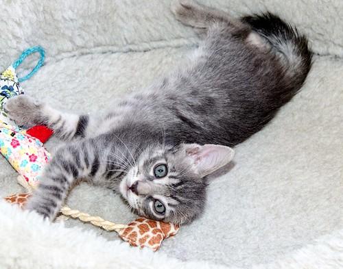 Benny, gatito Azul Ruso Tabby muy guapo y bueno, nacido en Julio´17, en adopción. Valencia. ADOPTADO. 36821694481_d74666e9dc