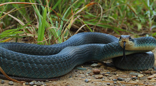 Blue racer (Coluber constrictor foxii) | by phl_with_a_camera1