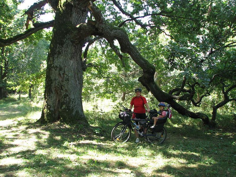 Біля озера багато старезних дубів