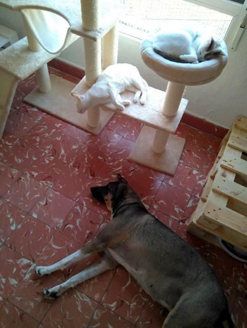 Brisa, gata Siamesa Red Point dulce y tímida esterilizada nacida en Abril´15, en adopción. Valencia. ADOPTADA. 35899373744_10e03818c4_z