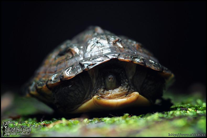 柴棺龜幼體。圖片來源:Skink Chen(CC BY-NC-ND 2.0)