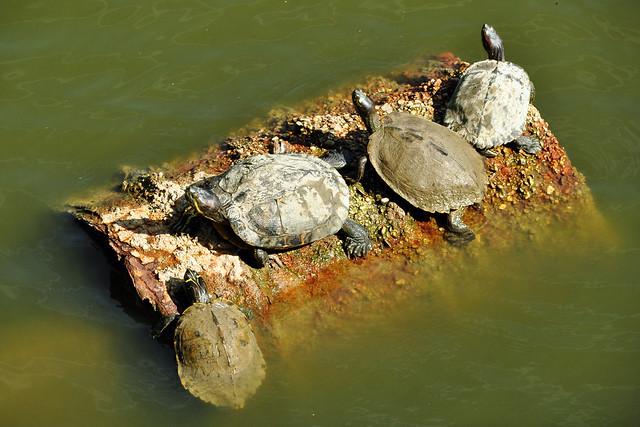 Tiergarten Worms ... Wasserschildkröten suchen ihren Platz an der Sonne ... Foto: Brigitte Stolle, August 2017