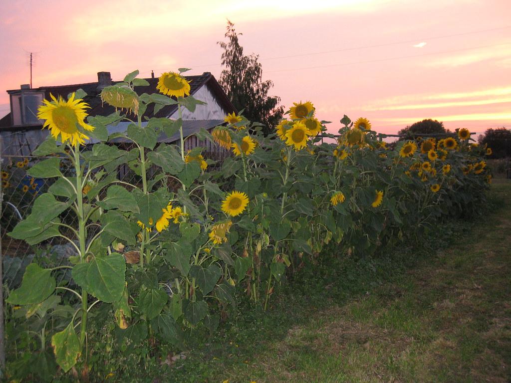 Подсолнухи в огороде