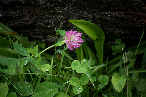 Wet Clover and Wet Grass | by goingslowly