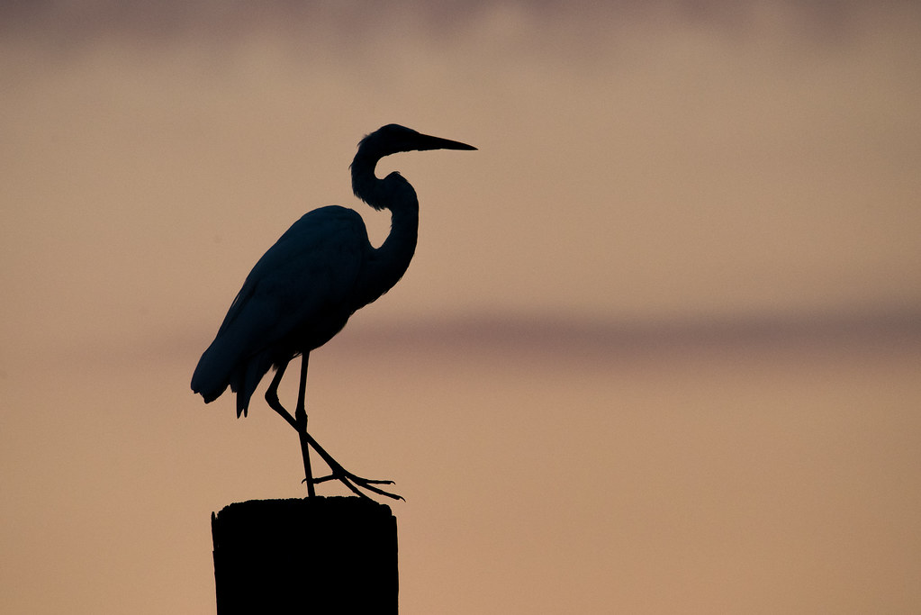 great egret silhouette bon secour river stephanie pluscht flickr