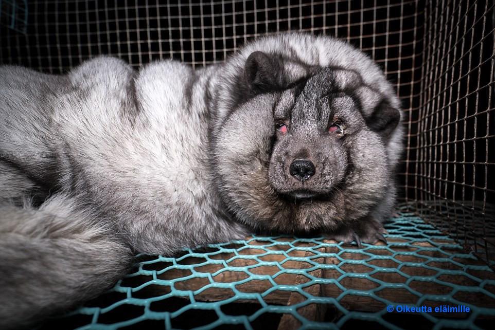 芬蘭「怪物狐狸」。圖片來源:Oikeutta eläimille。