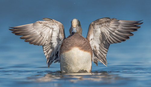 2017 Photo Contest Grand Prize Winner, American Wigeon by Nikunj Patel