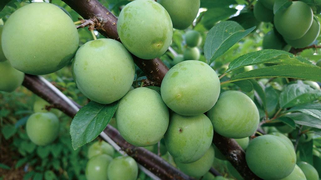 六月下旬到訪時,一顆顆綠色飽滿的西瓜李掛在樹枝上等候成熟。