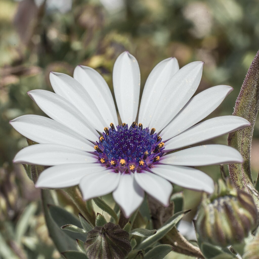 White Daisy Flower Osteospermum Species Barton Act Flickr