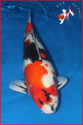 Adult-AE-2017 - Major Awards All England Koi Show 20017. Pic… - Flickr