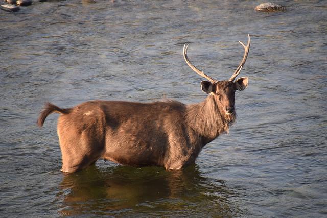 A sambar deer is standing in a stream.