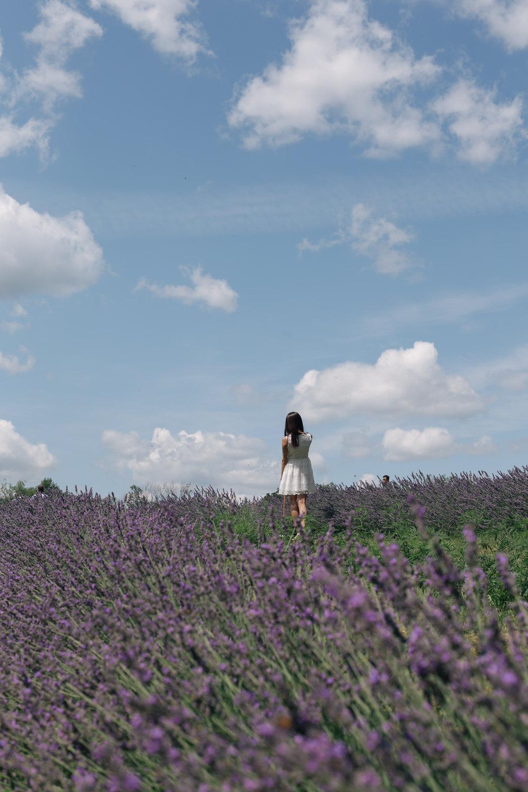 lavender fields sunny day