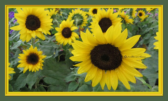 escort real sunflower thai