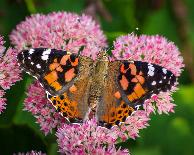 Butterfly, Macro, Sedum, Orange