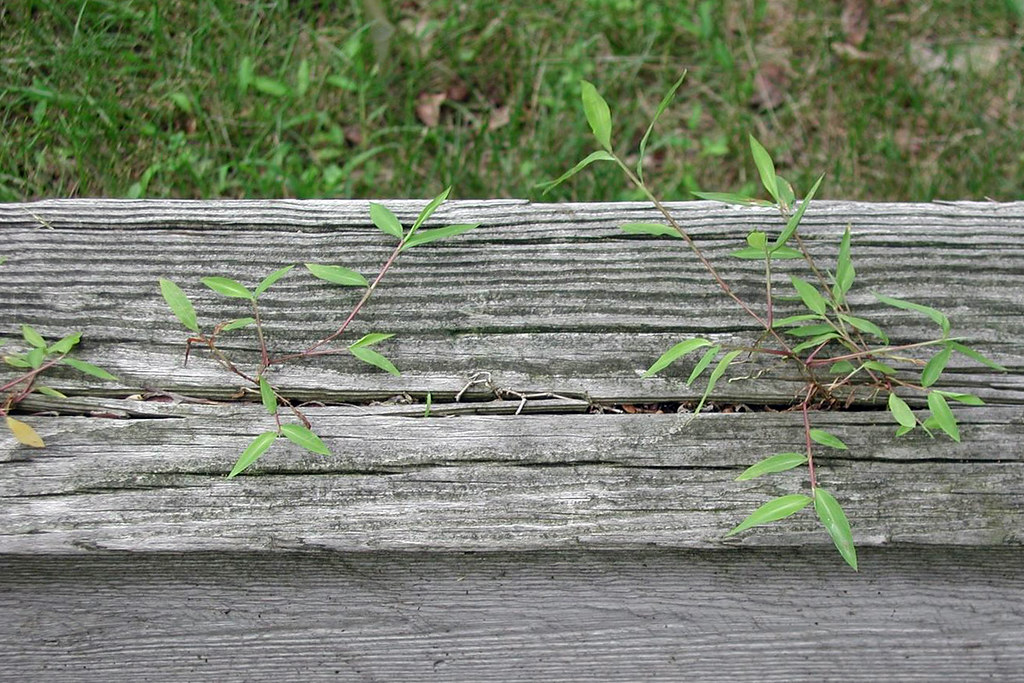 柔枝莠竹(Japanese stiltweed)。圖片來源:LESLIE J. MEHRHOFF/CC BY 3.0