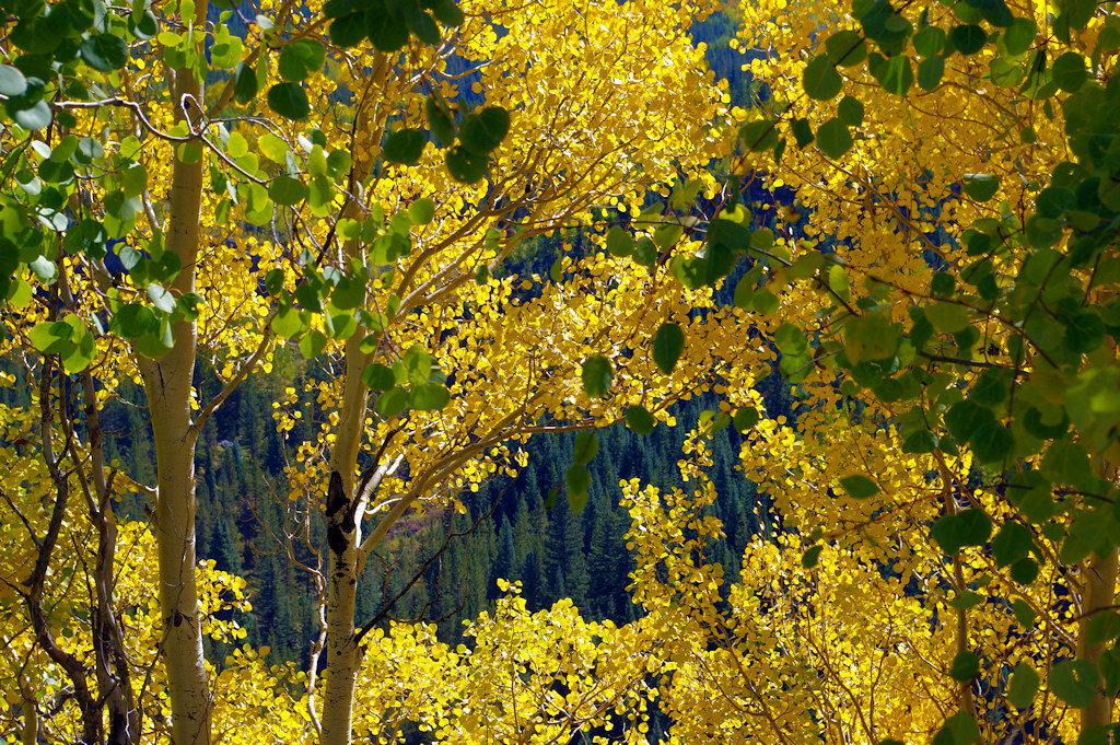 Photo Favorite: Aspen golden autumn leaves, US 550, 11.9 miles from Silverton, Colorado, pull-out above Lime Creek (Pentax K-3 II)