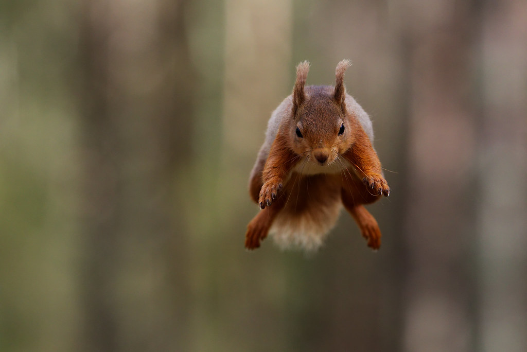 Red squirrel jumping by Mark Andrews | Wonderful world of an… | Flickr
