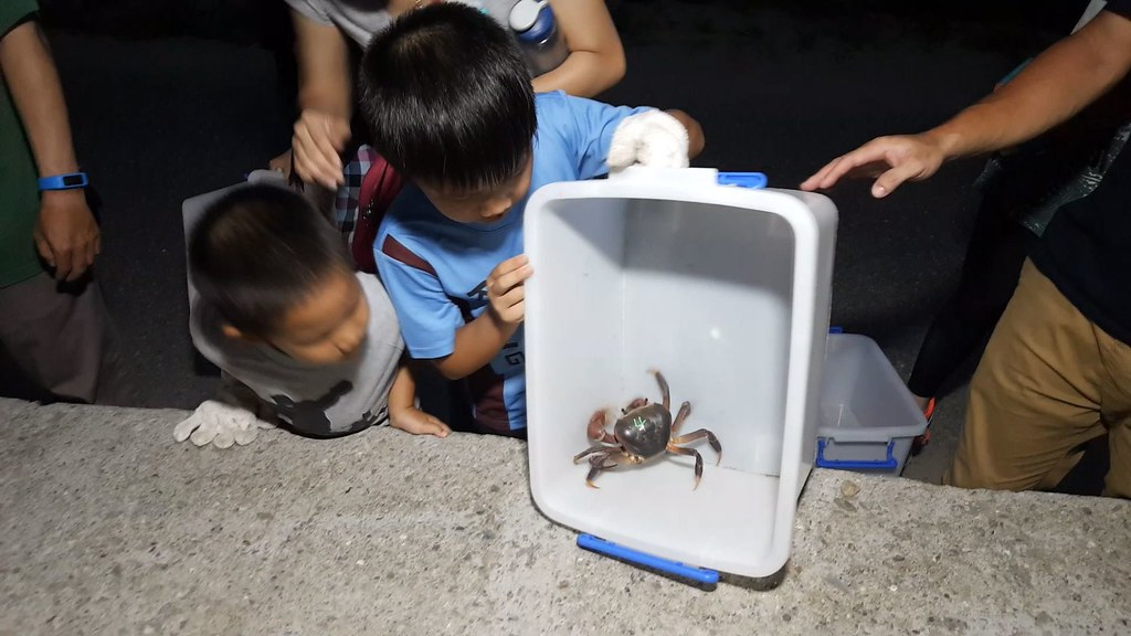 921-3-28 護蟹民眾發現許多兇狠圓軸蟹準備降海產卵,他們以人力方式,穿越馬路,送上堤防。