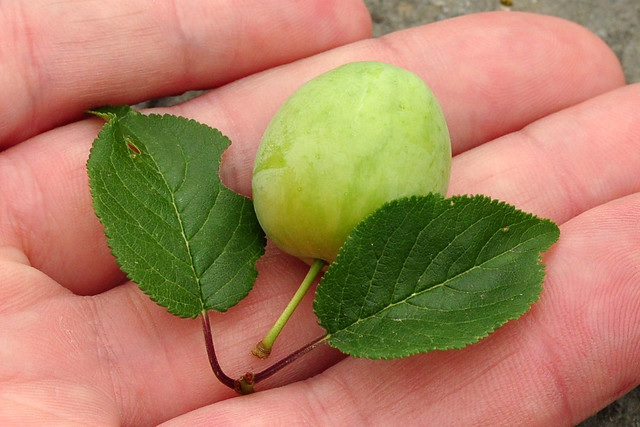 Wildfrucht ... Kirschpfalume, Türkenkirsche, Därgelkersch ... Marmelade ... Fotos: Brigitte Stolle