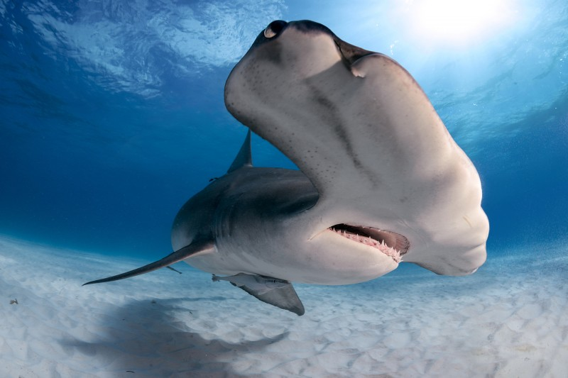Tiburones del Mediterráneo