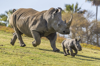 Rhino mother and calf frolicking in San Diego Zoo | by US Department of State