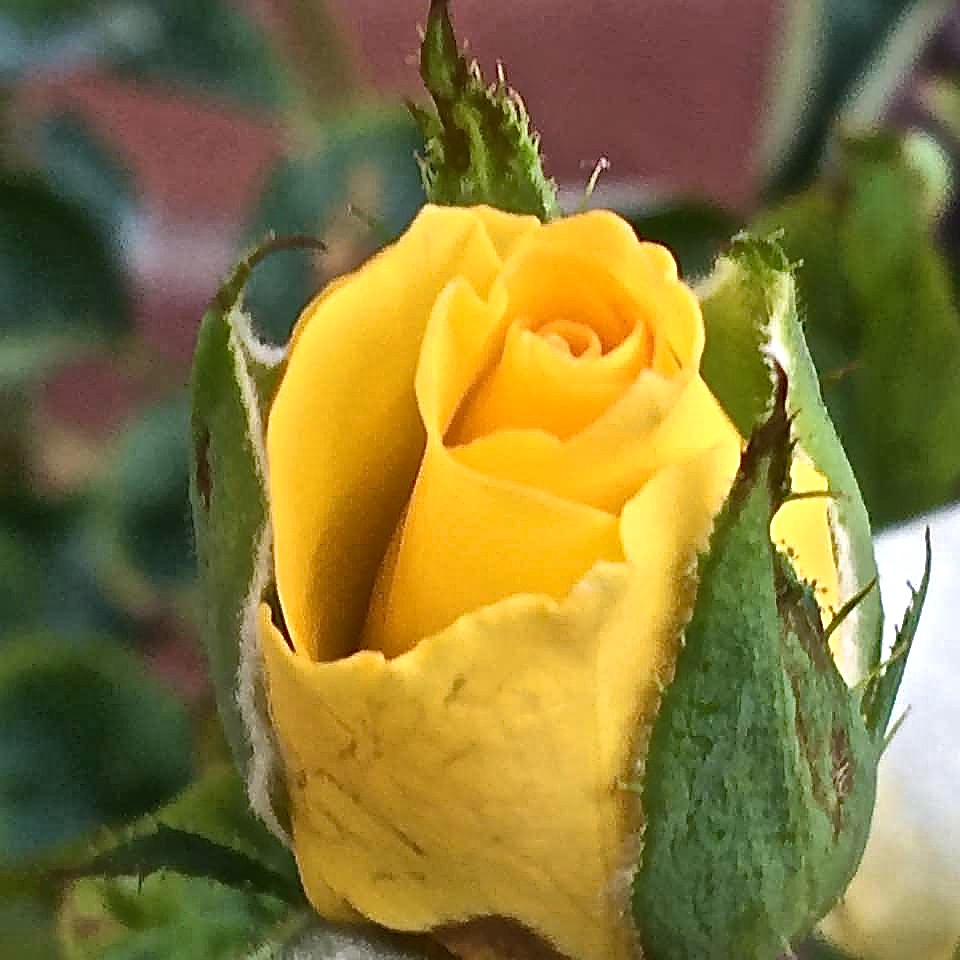 Yellow Rose Of Texas Rosebud In My Garden Photo By Miss Flickr