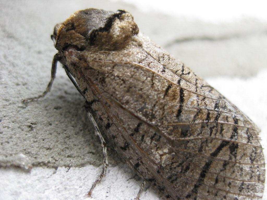 Ночная бабочка (Мотылёк)