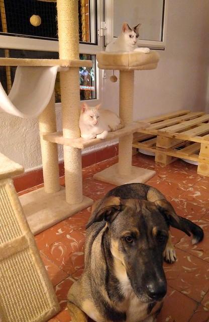Brisa, gata Siamesa Red Point dulce y tímida esterilizada nacida en Abril´15, en adopción. Valencia. ADOPTADA. 36564237802_5b3e00b302_z
