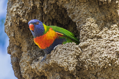 Rainbow Lorikeet nesting in termite mound (1) | by bidkev1 and son (see profile)