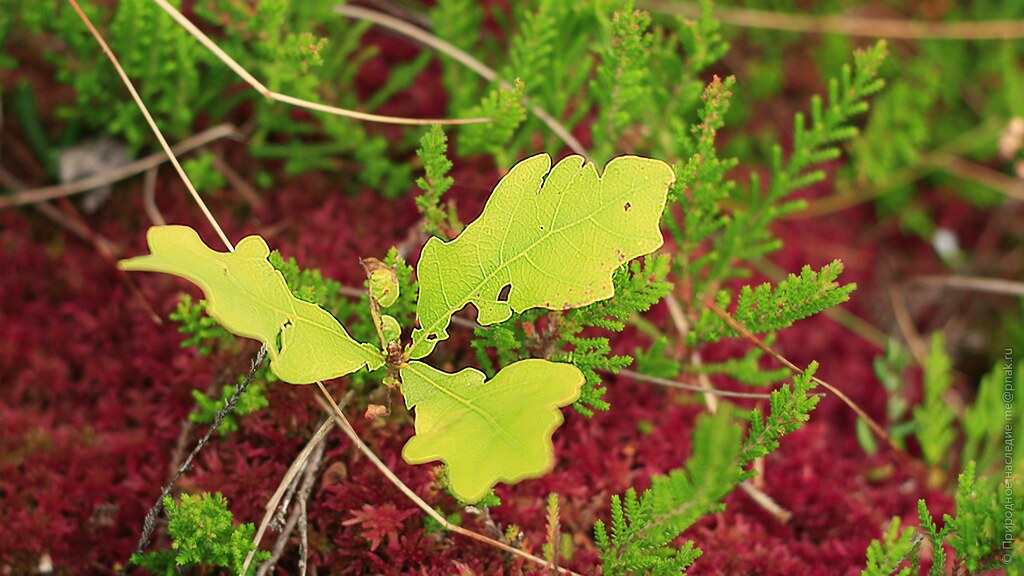 Oak leaves on colorful carpet of sphagnum