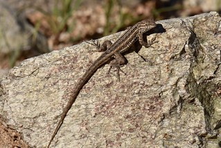 Side-blotched Lizard (Uta stansburiana) | by mitchberk