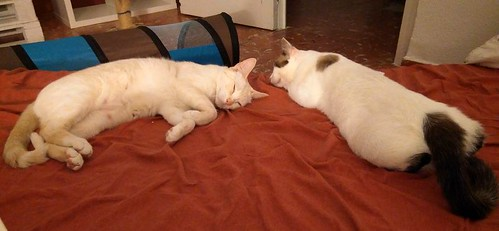 Brisa, gata Siamesa Red Point dulce y tímida esterilizada nacida en Abril´15, en adopción. Valencia. ADOPTADA. 36734095825_67d094a3cf
