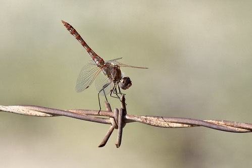 Dragonfly ID? | by mitchberk