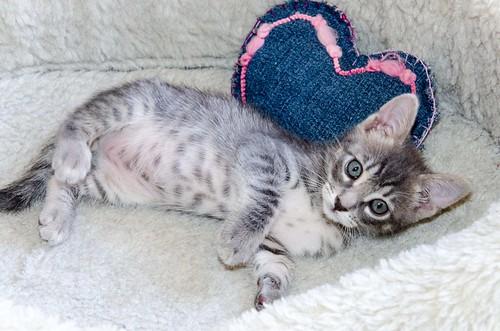 Benny, gatito Azul Ruso Tabby muy guapo y bueno, nacido en Julio´17, en adopción. Valencia. ADOPTADO. 36152659393_459b26ac12